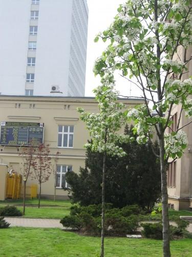 Drzewa Śródmieście Bydgoszcz