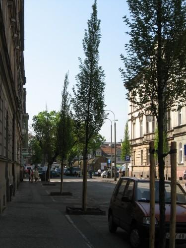 Grusza drobnoowockowa, ul. Obrońców Bydgoszczy