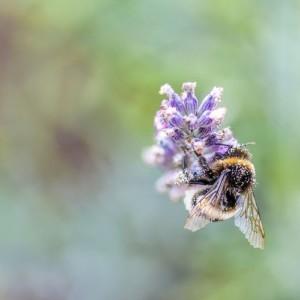 Chronimy pszczoły – projekt BeePathNet