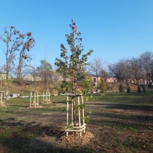 Kolejne nowe drzewa w Bydgoszczy