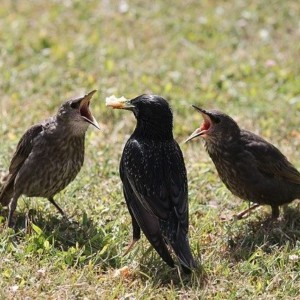 Jak pomagać młodym ptakom?
