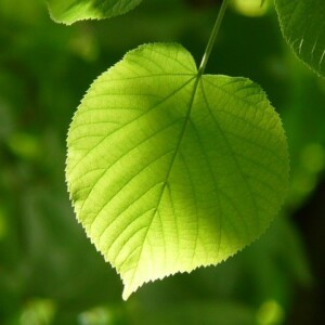 Ruszamy z zielonym projektem Bez lipy!